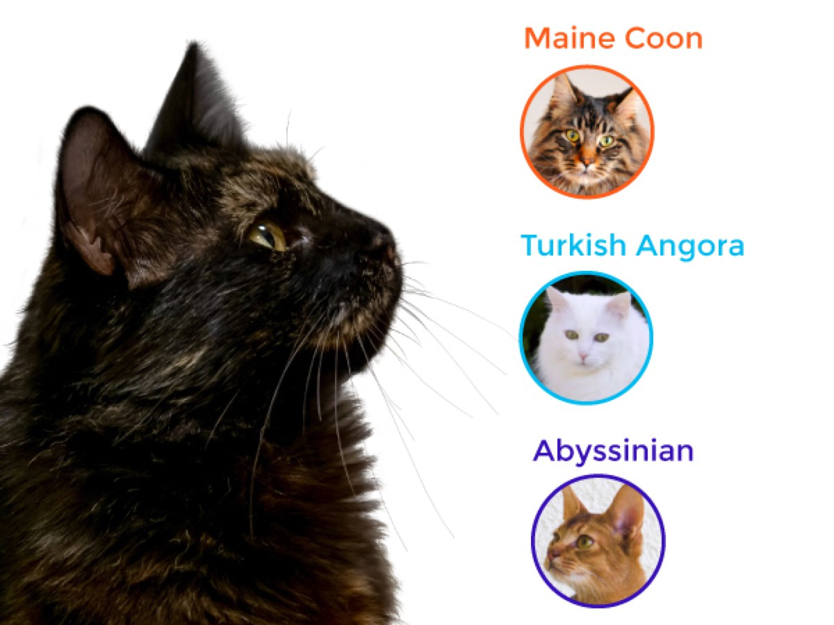 Maine Coon, Turkish Angora & Abyssinian