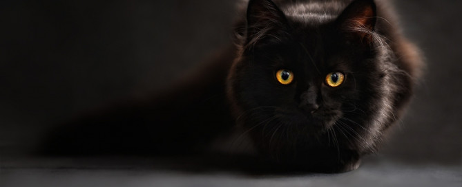Black Bombay cat with yellow eyes