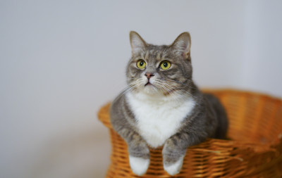 Gray tabby and white Munchkin cat in a basket