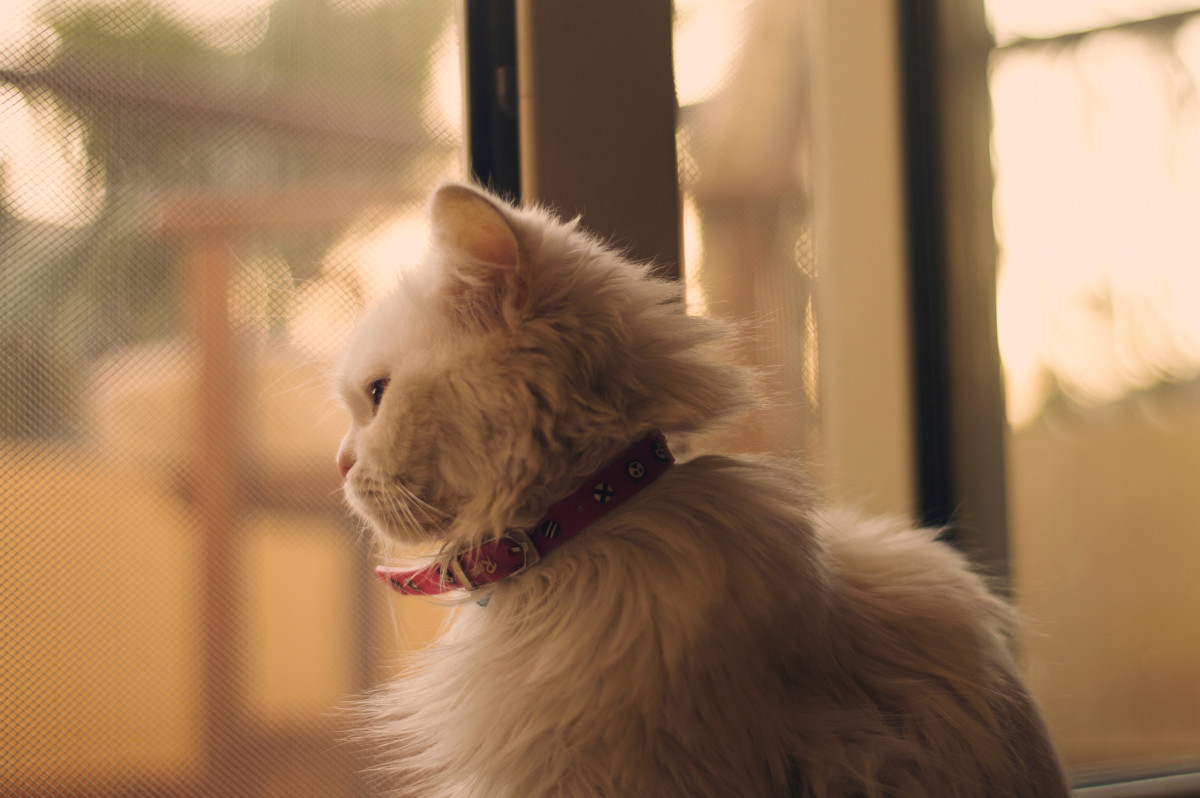 Beautiful white longhaired Persian cat with red collar looking through the window
