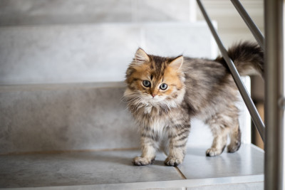Gray and orange tabby cat with white spots standing on the stairs