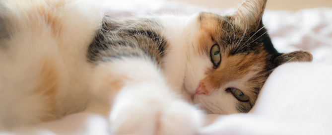 A tricolor calico cat