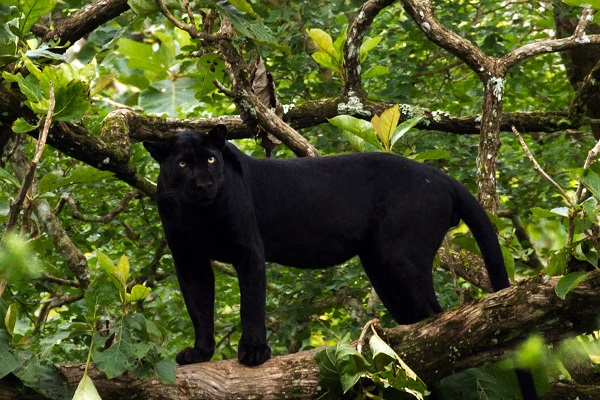 Black puma in the trees