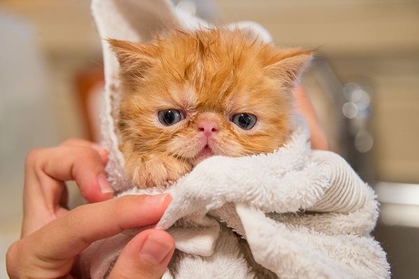 Orange tabby Persian cat with blue eyes wet in a towel