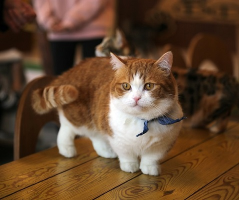 Short orange tabby and white Munchkin cat with a blue collar