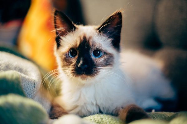 Young Siamese kitten with blue eyes