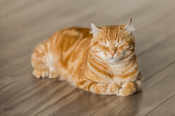 Orange tabby cat with closed eyes