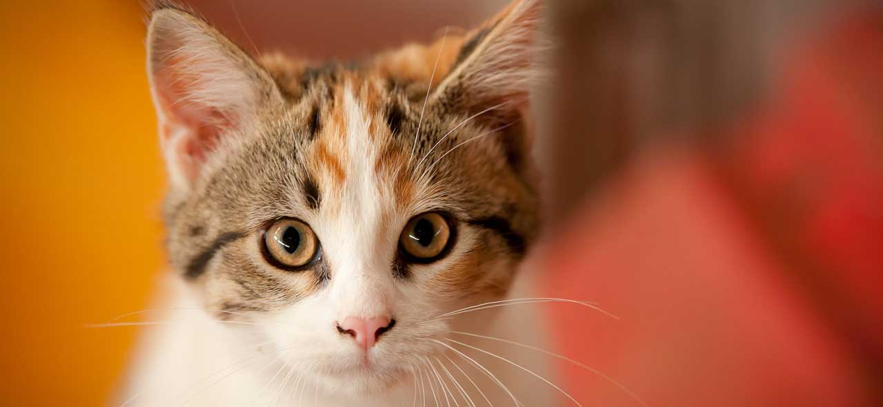 Why Calico Cats Are Always Female  Basepaws-3023