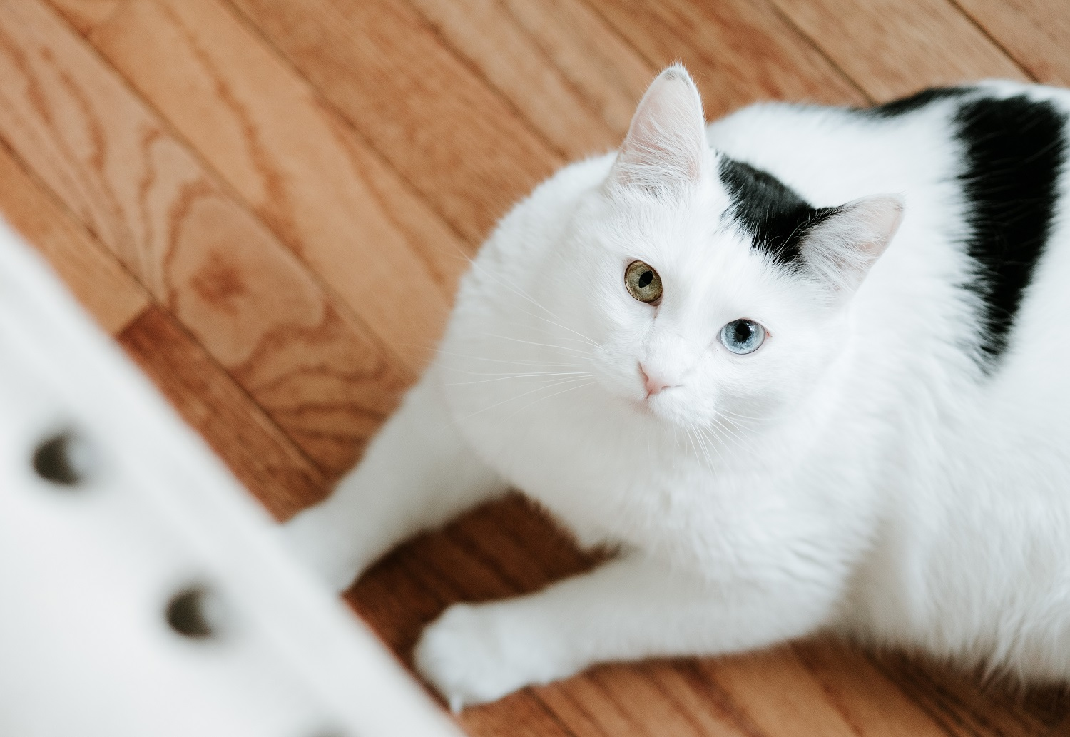 Odd Eyes in Cats (Heterochromia)
