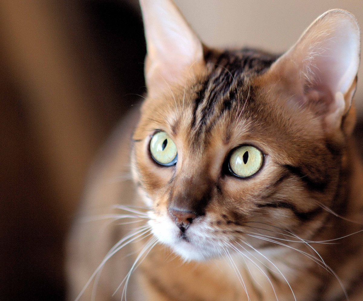 Tabby brown cat with very light green eyes