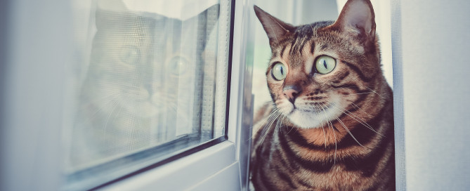 Tabby cat with green eyes looking through the window
