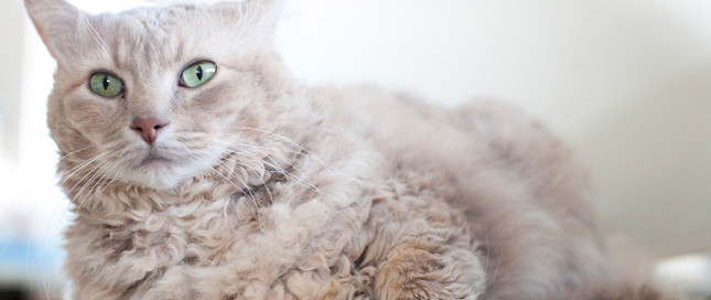 A gorgeous gray curly cat with green eyes laying on a white chair