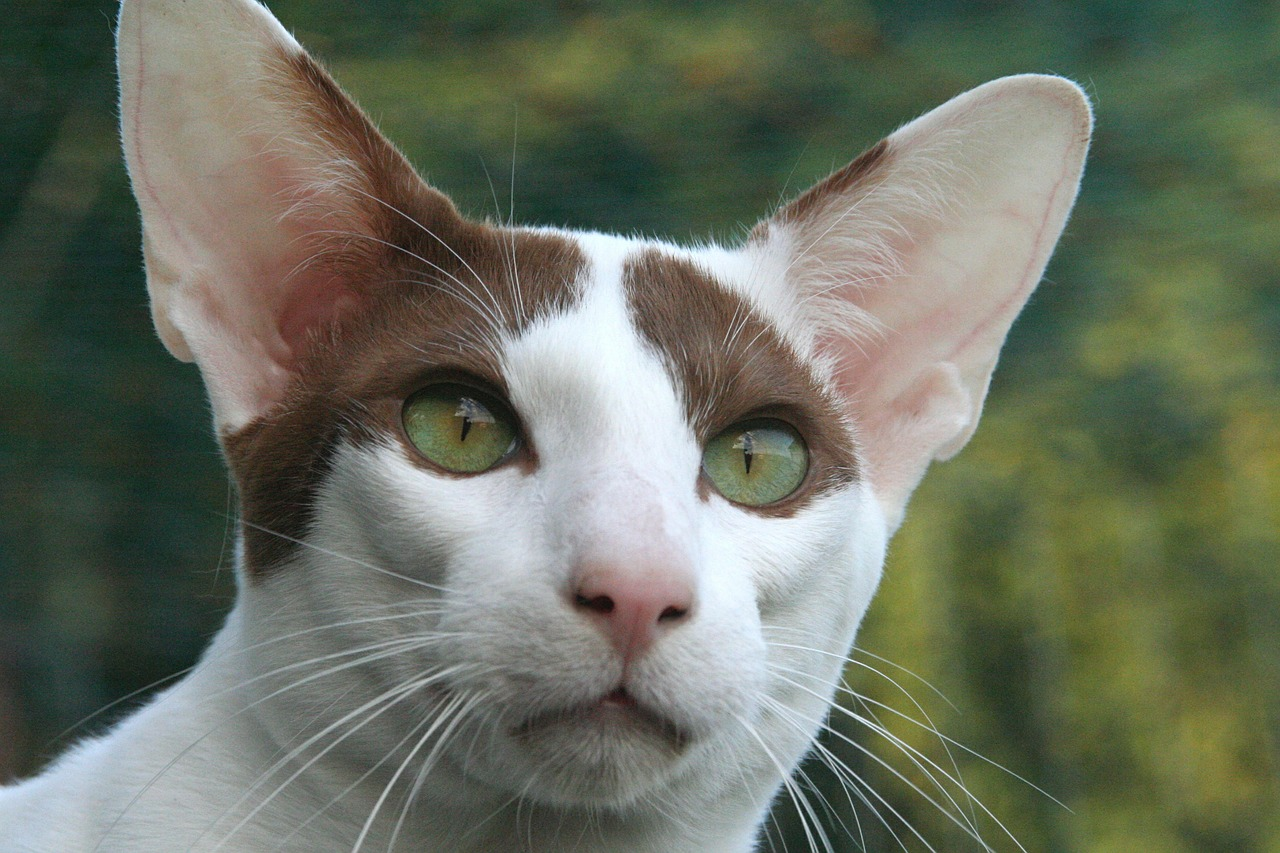 Peterbald cat with short, fine brown and white fur and green eyes