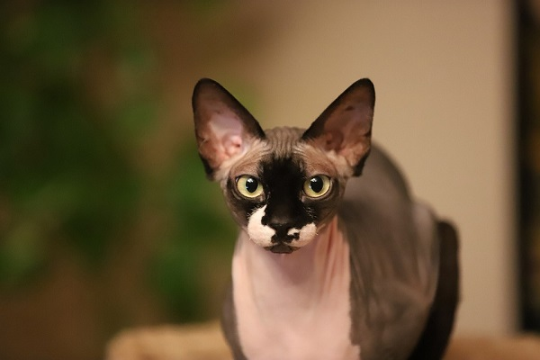 Peterbald bald cat with black and pink marks on the skin