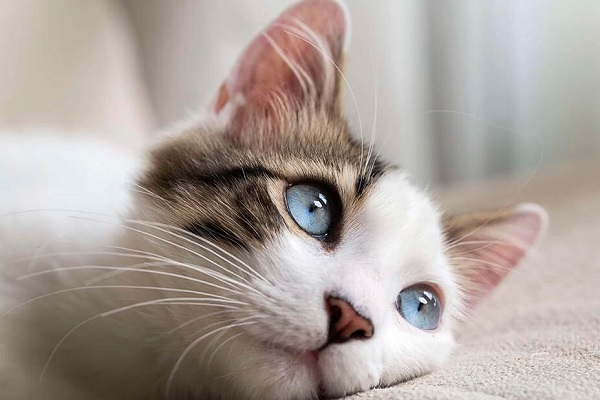Brown and white tabby cat with light blue eyes