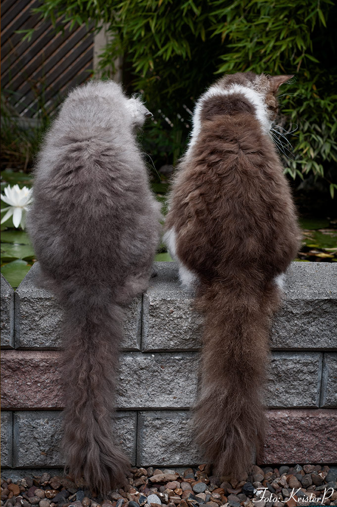 Two longhaired gray and brown LaPerm cats sitting