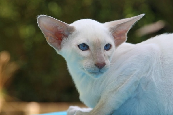 Peterbald cat with short, fine white fur and blue eyes