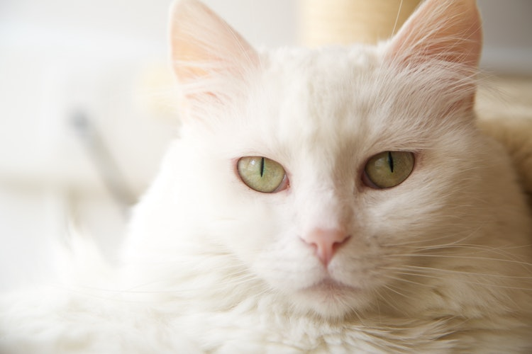 White longhair cat with yellow eyes